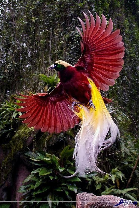 عکس پرنده بهشتی بسیار زیبا