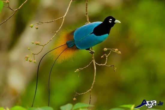 عکس پرنده بهشتی بسیار جذاب