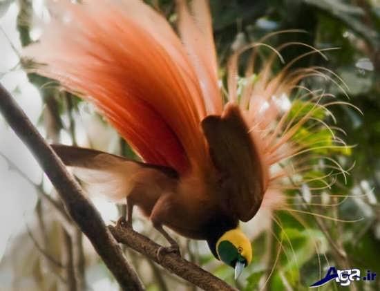 عکس انواع پرنده های بهشتی