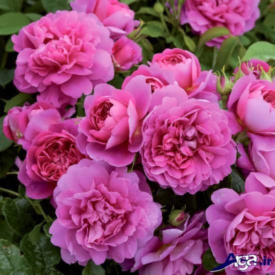 انواع دسته گل رز صورتی زیبا و شیک