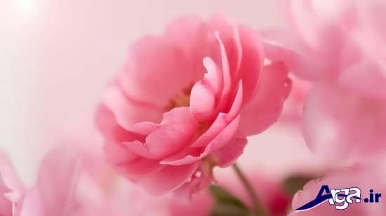 عکس تک گل رز صورتی