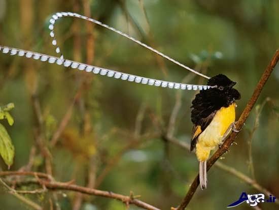 پرنده بهشتی زیبا و بی نظیر