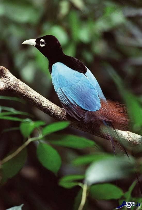 مجموعه زیبای عکس پرنده های بهشتی