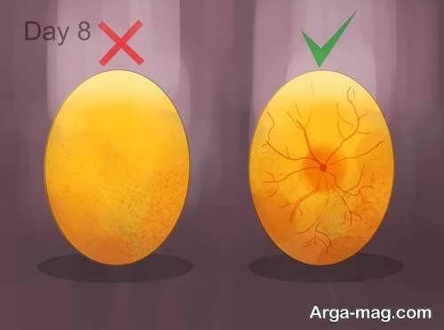 نگاه کردن نطفه درون تخم مرغ