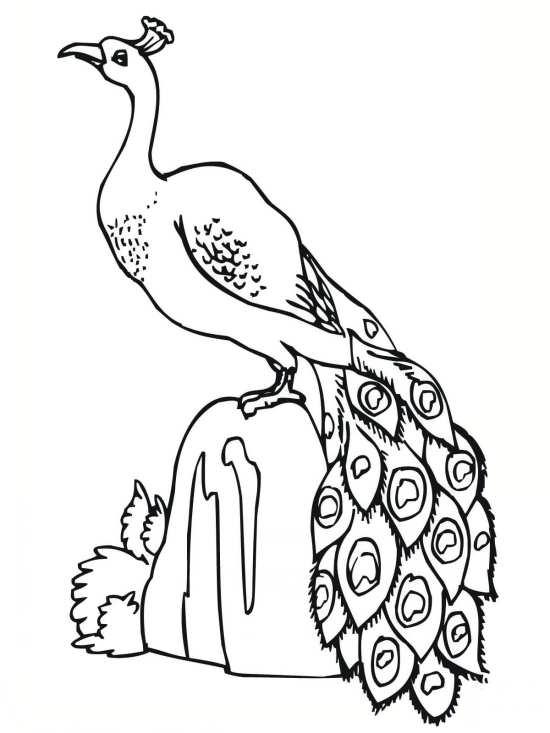 نقاشی پرنده طاووس