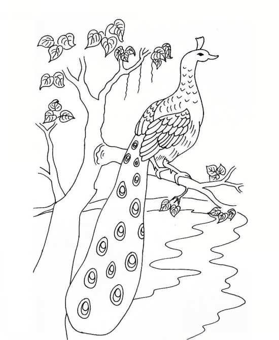 نقاشی طاووس کودکانه و انواع رنگ آمیزی پرنده طاووس