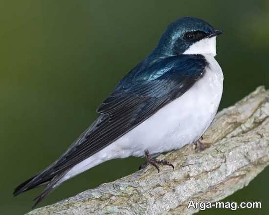 پرنده زیبای چلچله