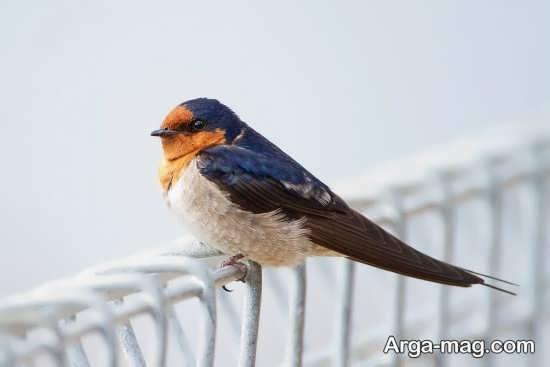 عکس پرنده پرستو