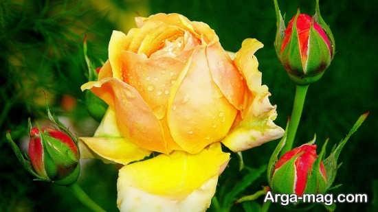 گل رز در انواع رنگ ها