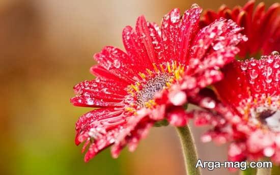 تصاویر گلهای زیبا