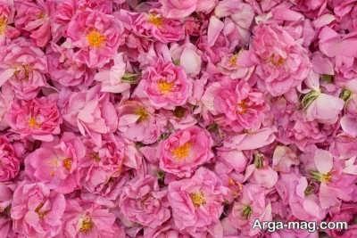 تاریخچه ابداع گلاب از گل محمدی