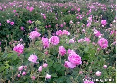 آب مورد نیاز برای کشت گل محمدی