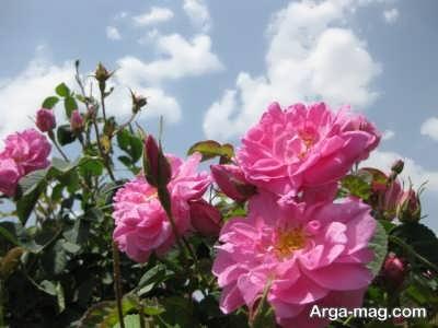 زمان مناسب برای تهیه پاجوش از گل محمدی