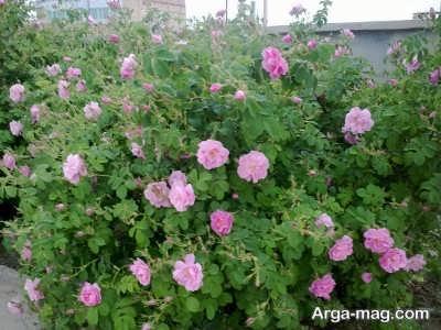 هر آنچه لازم است از کاشت تا برداشت گل محمدی بدانید