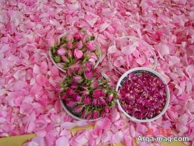 خاک و مناطق مناسب برای کاشت گل محمدی