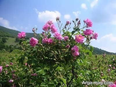 دمای و رطوبت مناسب برای کشت گل محمدی