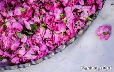 نحوه و بهترین زمان برداشت گل محمدی