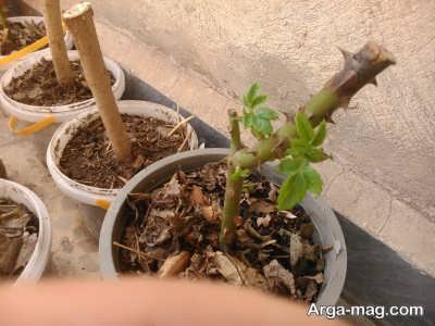 آموزش قلمه زدن گل رز با روش چوب یا خشک