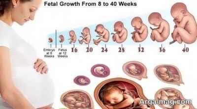 شکل هفته به هفته جنین در رحم مادر