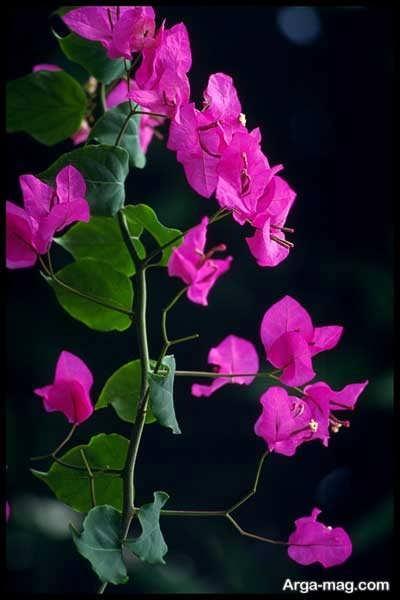 نیاز گل کاغذی به نور چقدر است؟