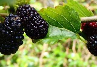 از خواص توت سیاه چه میدانید؟