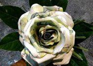گل با اسکناس