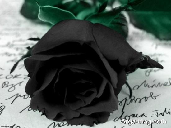 عکس گل رزمشکی