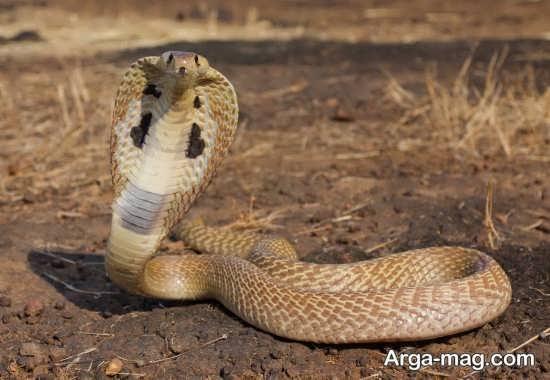 Cobra 1 - عکس مار کبری و آشنایی با این حیوان ترسناک