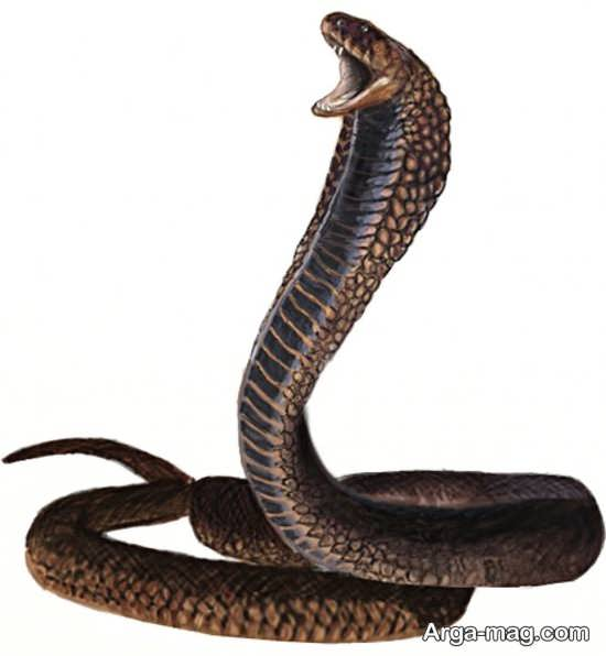 Cobra 13 - عکس مار کبری و آشنایی با این حیوان ترسناک