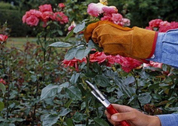 قلمه زدن گل رز