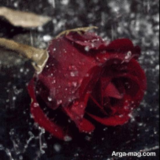 عکس گل رز زیر باران