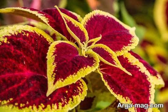 painted 7 - روش قلمه زدن حسن یوسف و پرورش و نگه داری از این گل زیبا