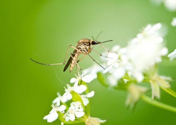 پشه ها ارتباط بین بو و رفتار افراد را تشخیص می دهند!