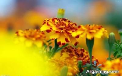آشنایی با خواص گل همیشه بهار