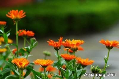 فواید بی شمار گل همیشه بهار