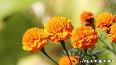 دانستنی های مهم و مفید از خواص گل همیشه بهار
