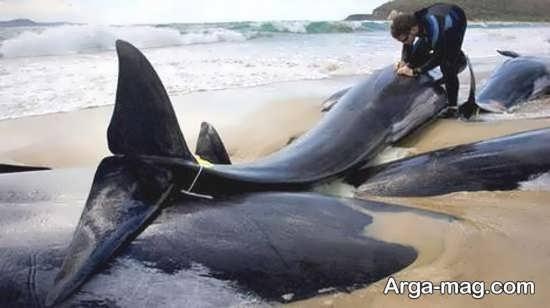 تصویری از قتل عام نهنگ
