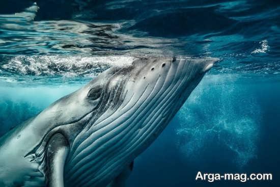 عکس نهنگ غول پیکر