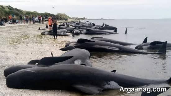 تصوری از قتل نهنگ ها در دانمارک