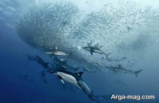 تصویر دسته جمعی نهنگ آبی