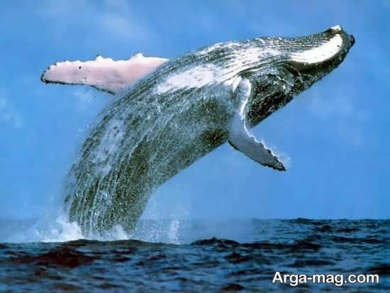 تصویر نهنگ آبی قشنگ