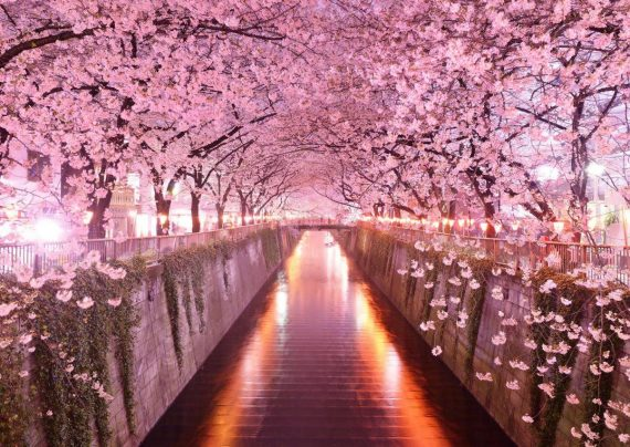 شکوفه گیلاس در چین