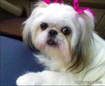 سگ تزیینی
