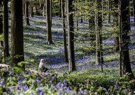 جنگلی زیبا در بلژیک با فرشی از گل های بلوبل