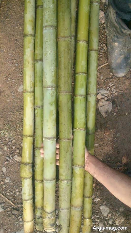 عکس جالب از گیاه بامبو