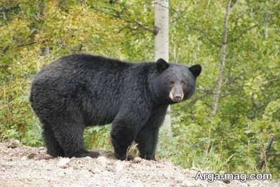 دیدن خواب خرس سیاه