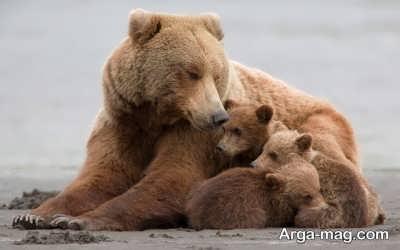 تعبیر دیدن خرس در خواب