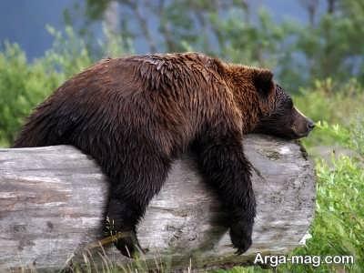 تعبیر دیدن خواب خرس قهوه ای