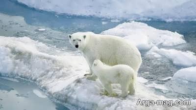 تعبیر دیدن خواب خرس سفید
