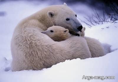 دیدن خواب خرس
